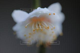 梅の花の写真・画像素材[938487]