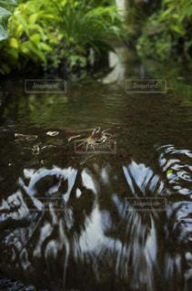 小川にたたずむサワガニの写真・画像素材[941312]