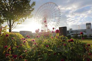 観覧車の前に咲く千日紅の写真・画像素材[941314]