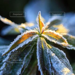 霜がつく朝の草の写真・画像素材[942995]