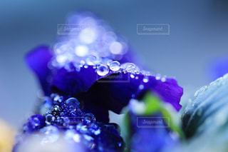 プリムラジュリアンと滴の写真・画像素材[942999]