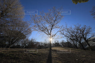 朝日でシルエットに映るジュウガツザクラの木の写真・画像素材[947283]