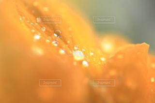プリムラの花に雫の写真・画像素材[947551]
