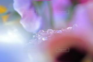 桃色雫の写真・画像素材[947562]