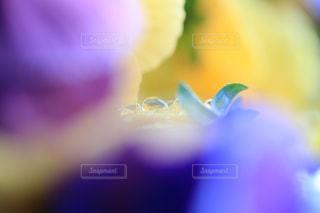 花びらに透ける雫の写真・画像素材[947565]