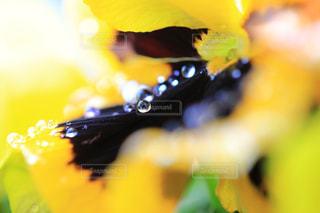 黄色のプリムラジュリアンと雫の写真・画像素材[947566]