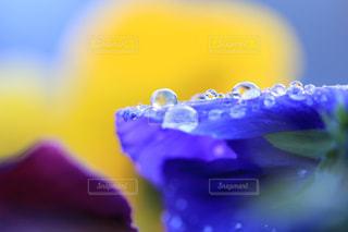 青いプリムラジュリアンにのる雫たちの写真・画像素材[947605]