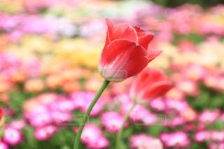 春に咲くチューリップの花の写真・画像素材[952792]