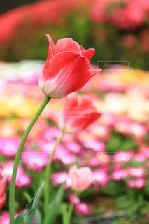 春に咲くチューリップの花々の写真・画像素材[952795]