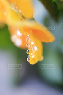 雨露にしだれる花びらの写真・画像素材[955088]