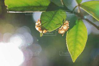 朝陽を浴びるセミの脱け殻の写真・画像素材[958695]