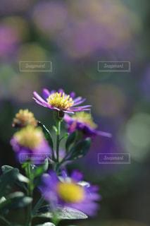 ノコンギクの花言葉「長寿と幸福」の写真・画像素材[961168]
