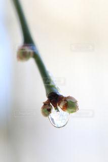 梅のつぼみと雫の写真・画像素材[972917]