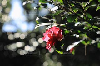 光を浴びるツバキの花の写真・画像素材[977404]