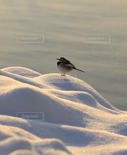 雪の上で休むセキレイの写真・画像素材[977671]