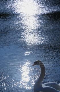 光のきらめきの中にいる白鳥の写真・画像素材[979093]