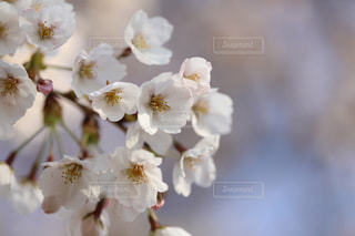 桜の花の写真・画像素材[980218]
