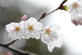 雨に濡れる桜の花の写真・画像素材[980597]