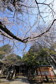 神社の境内に咲く桜の木の写真・画像素材[980767]