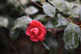 雨に濡れるツバキの写真・画像素材[991535]