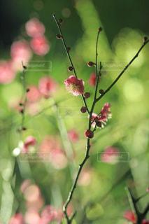 夜に咲く梅の花の写真・画像素材[992217]