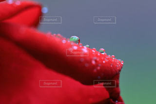 薔薇の花と雫の写真・画像素材[994484]