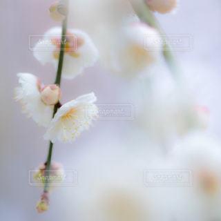 白い枝垂れ梅の花の写真・画像素材[1027138]