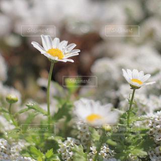 滴がのるマーガレットの写真・画像素材[1127428]