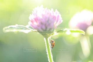 アカツメクサの茎を歩くテントウムシの写真・画像素材[1147740]