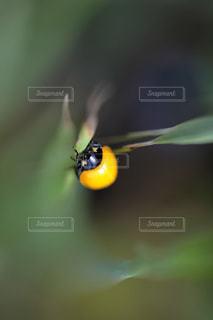 羽化したばかりの黄色のてんとう虫の写真・画像素材[1151724]