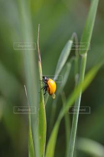 羽化したばかりのてんとう虫の写真・画像素材[1151725]