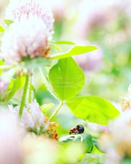 ムラサキツメクサの葉の上で交尾するてんとう虫の写真・画像素材[1157909]