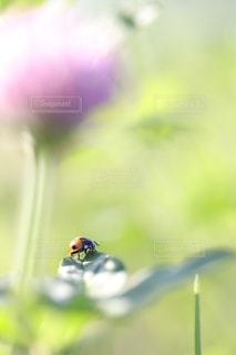 ムラサキツメクサの葉に乗るてんとう虫の写真・画像素材[1158301]
