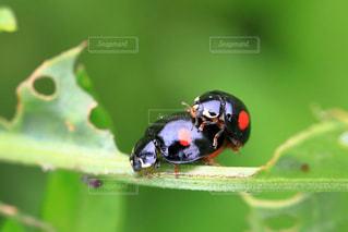 てんとう虫の交尾の写真・画像素材[1170043]