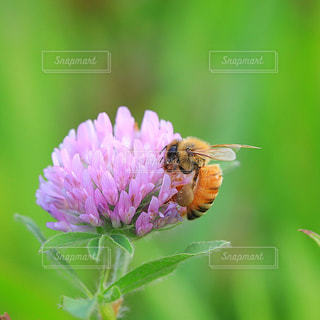 アカツメクサの花で蜜を集めるミツバチの写真・画像素材[1348375]