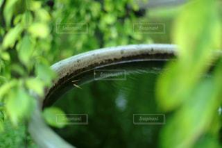 緑の葉の下で泳ぐメダカの写真・画像素材[1383836]