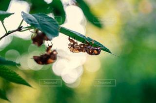光に透ける蝉の抜け殻の写真・画像素材[1391046]