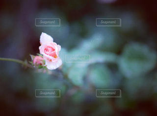 雨にしたたるバラの花の写真・画像素材[1393006]