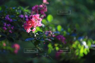 サルスベリの花の写真・画像素材[1415319]
