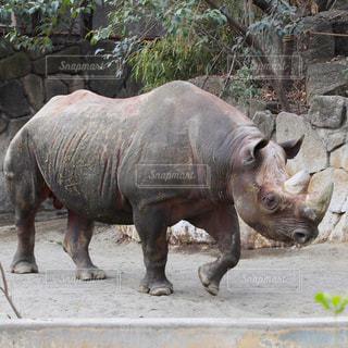 動物園のサイの写真・画像素材[1753424]