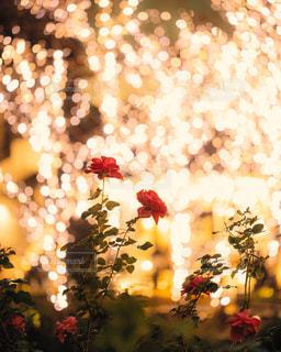 イルミネーションに浮かぶバラの花の写真・画像素材[1763307]