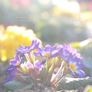太陽の光を浴びるプリムラの花の写真・画像素材[1764476]
