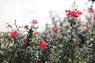 咲き誇る赤い薔薇の写真・画像素材[1765789]