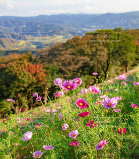 山腹に咲くコスモスの写真・画像素材[1767450]
