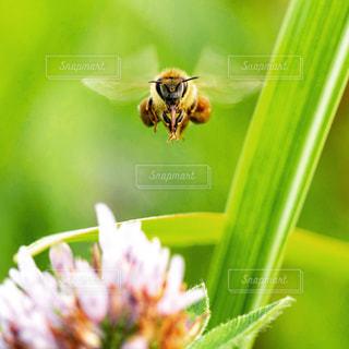 正面を向くミツバチの写真・画像素材[1767472]