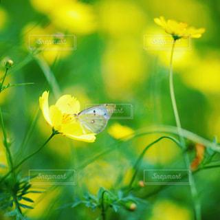 キバナコスモスと蝶の写真・画像素材[1767972]