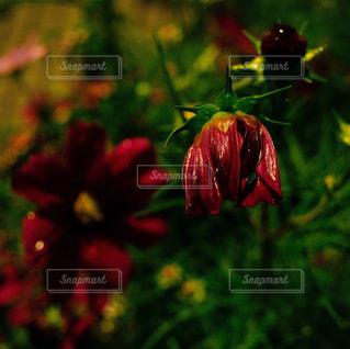 雨にしおれたコスモスの花の写真・画像素材[1767973]