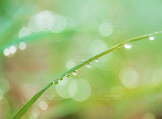 朝つゆある草の写真・画像素材[1767974]