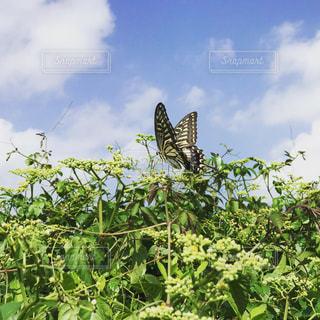青空の下で飛ぶアゲハチョウの写真・画像素材[1768149]