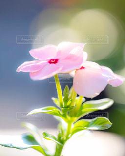 ピンク色のニチニチソウの写真・画像素材[1770298]
